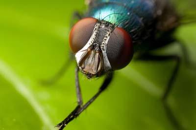 Con ruồi nhà - phàm ăn, gây bẩn