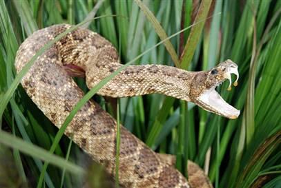 Protein của rắn tiến hóa nhằm thích nghi