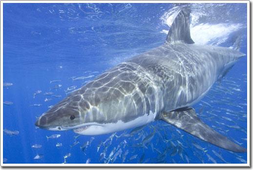 Hơn 50 % các loài cá mập biển có nguy cơ tuyệt chủng