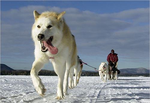 Sự trao đổi chất kỳ diệu ở những chú chó kéo xe