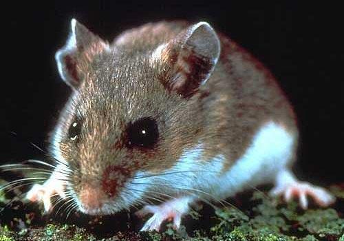 Chuột mẹ nhường năng lượng cho con khi sự sống bị đe dọa
