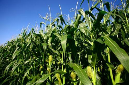 Tăng phức hợp luân canh sẽ làm tăng sản lượng một cách bền vững