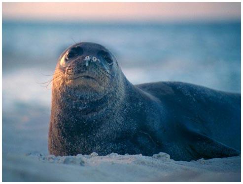Hải cẩu thầy tu Ca-ri-bê đã tuyệt chủng