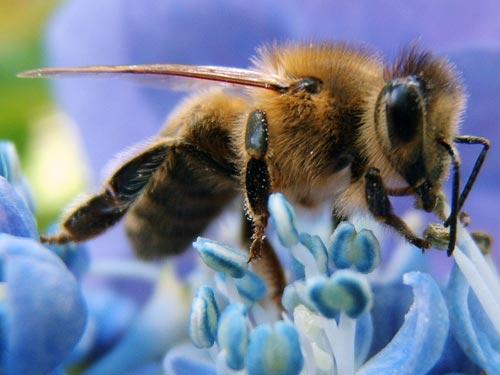 Vũ điệu của ong phá vỡ rào cản văn hóa