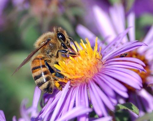Chức năng bộ râu của ong mật đối với trí nhớ