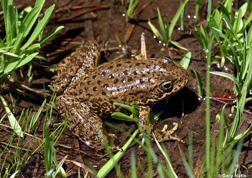 Vi khuẩn probiotic ngăn ngừa bệnh da liễu nguy hiểm ở loài ếch