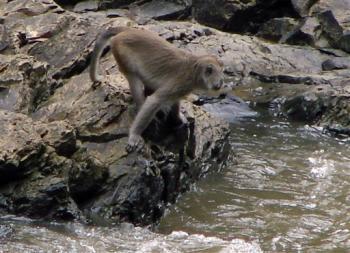 Phát hiện loài khỉ biết bắt cá