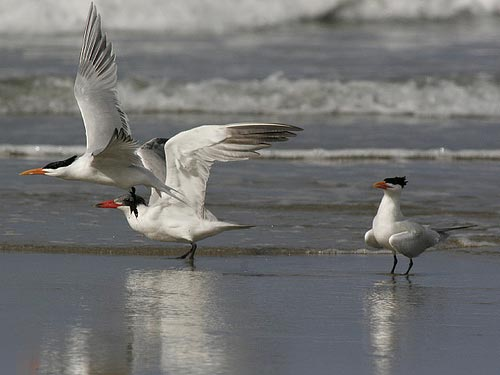 Dự án tái phân phối chim nhạn biển Caspian thành công bước đầu