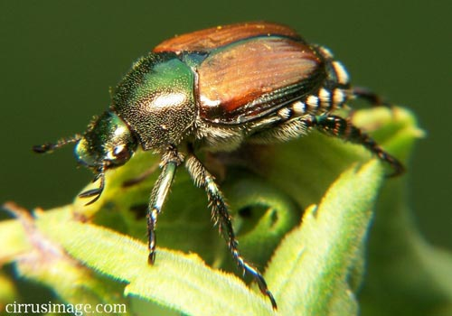 Không mùi, không sex ở bọ cánh cứng Nhật Bản