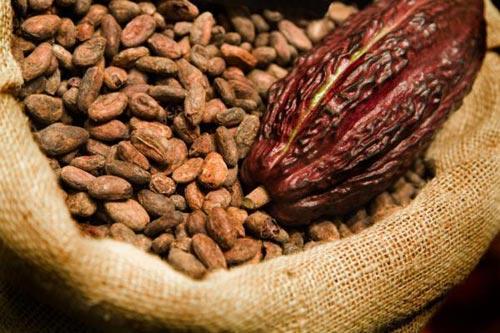 Cacao tổng hợp hạn chế khối u phát triển