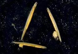 Sinh vật biển giống sâu cung cấp đầu mối về quá trình tiến hóa của loài người