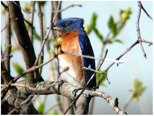 Chim truyền thông điệp thành công trong tiếng hót