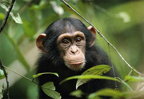 Khỉ cũng biết lên kế hoạch