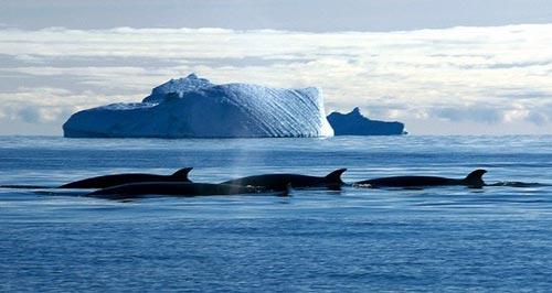 Cá voi cũng có thể chết vì u uất
