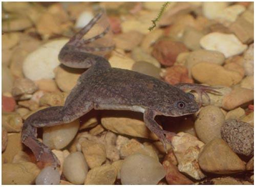 Khi bị đe dọa ếch có thể biến ngón chân thành móng vuốt