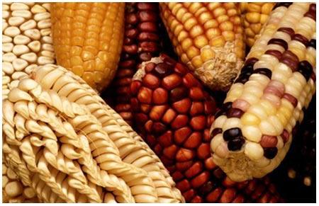 Người Mexico trồng ngô từ 10.000 năm trước