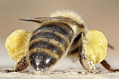 Gắn chip cho ong