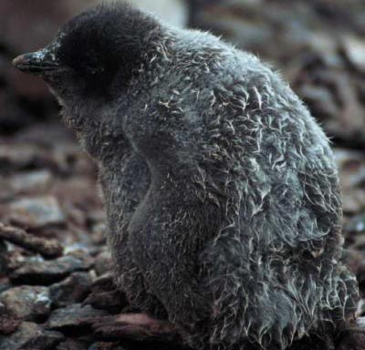 Chim cánh cụt cảnh báo hiện trạng của các đại dương trên thế giới