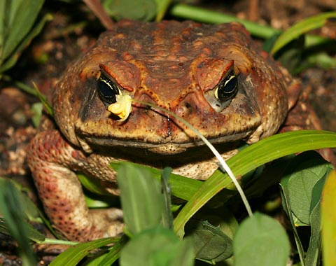 Cơ quan sinh sản của ếch biến đổi dị thường