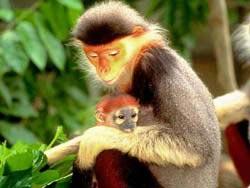 Đà Nẵng: Phát hiện quần thể voọc ngũ sắc quý hiếm