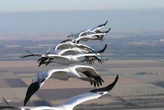 Chim di cư ban đêm theo đàn phân tán