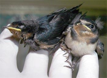 Phát hiện đôi chim song sinh dính liền nhau
