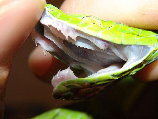 Giải đáp bí ẩn về rắn và răng nanh