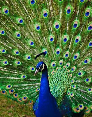 Các đặc điểm phô trương của con đực tiến hóa như thế nào?