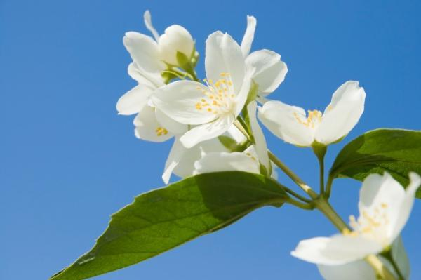 Dược phẩm điều trị ung thư với chiết xuất hoa nhài