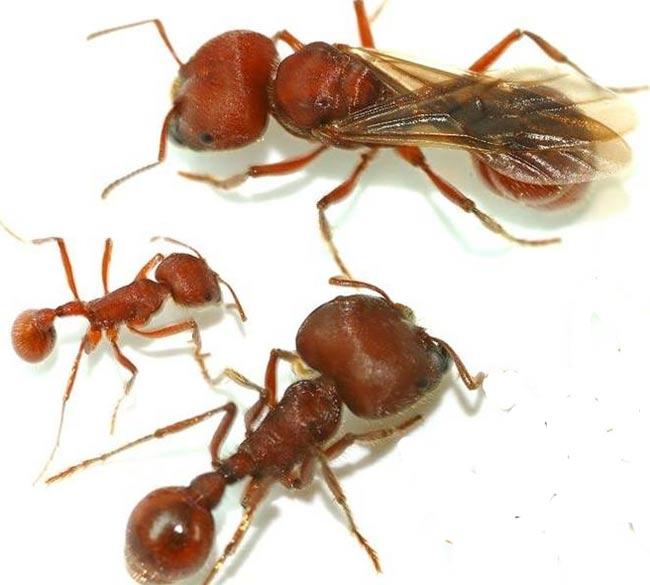 Phát hiện mấu chốt về địa vị xã hội của loài kiến