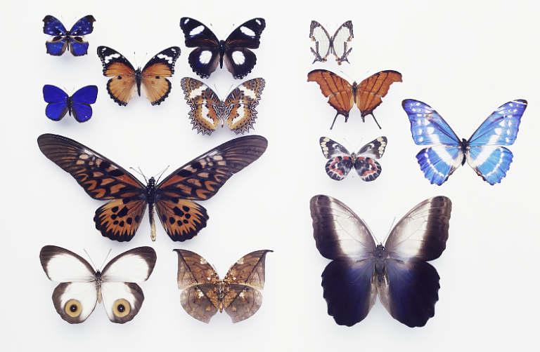 Tại sao bướm có đốm mắt?