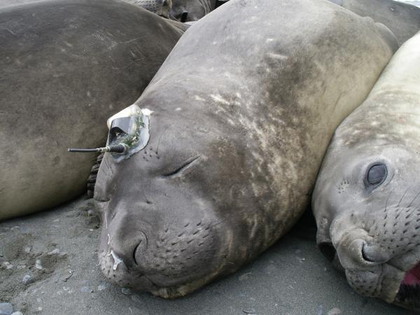 Hải cẩu biển giúp cung cấp dữ liệu khí hậu