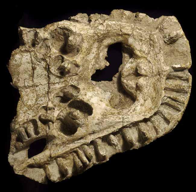 Động vật lưỡng cư cổ đại có hàm răng lớn