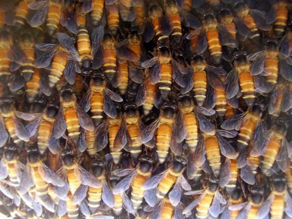 Ong mật tạo sóng đuổi kẻ thù đi xa