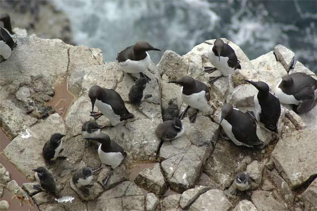 Thiếu thức ăn khiến chim non bị giết hại