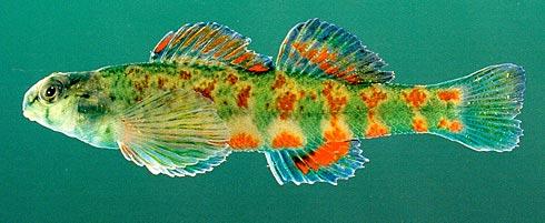 Nguy cơ tuyệt chủng của cá nước ngọt Bắc Mỹ