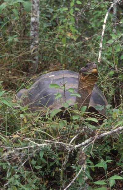 Một số loài rùa Galapagos không tuyệt chủng mãi mãi