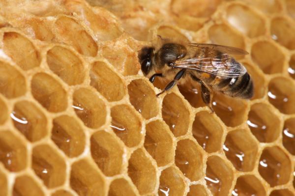 Phát triển quá nhanh dẫn đến chết sớm ở ong mật