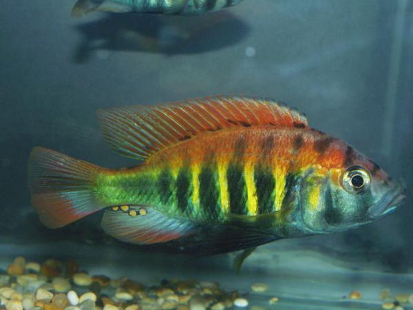 Loài cá mới xuất hiện tùy theo cách con cái chọn con đực