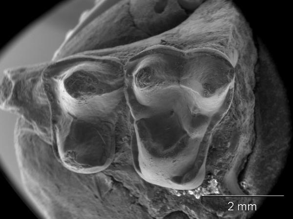 Hóa thạch linh trưởng được phát hiện tại Texas