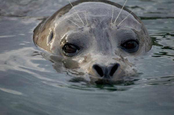 Ô nhiễm thủy ngân làm tổn thương hải cẩu