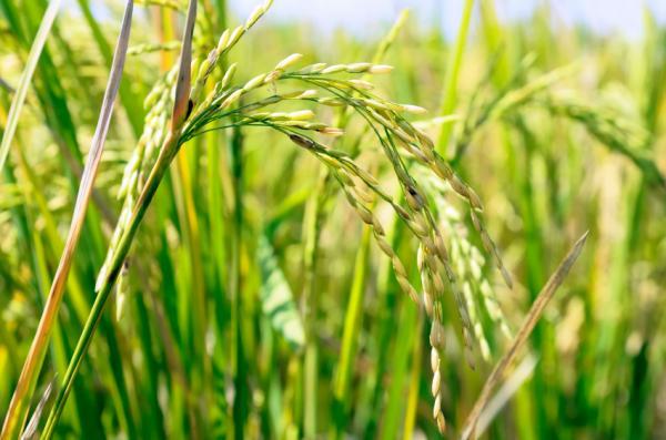 Nhân đôi sản lượng gạo ở những khu vực hạn hán