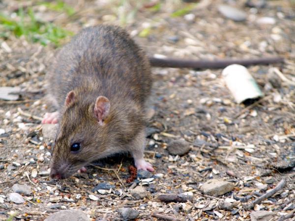 Bọ chét trên chuột truyền vi khuẩn hại tim.