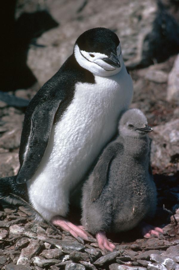 Nam Cực có nhiều loài vật hơn Galapagos