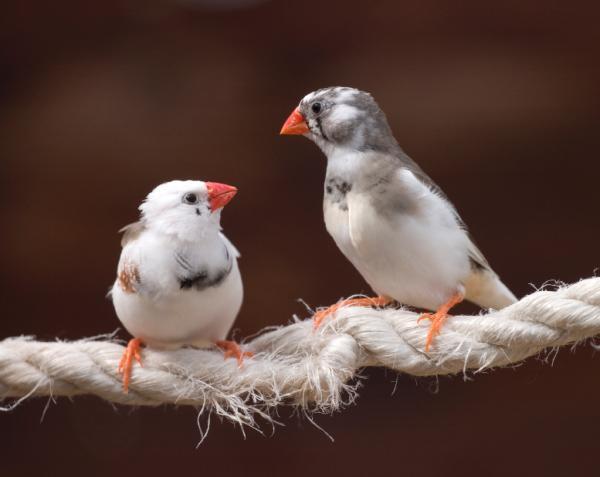 Luyện tập và ngủ giúp chim hót hay hơn