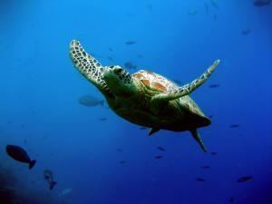 Hành trình đáng kinh ngạc của rùa biển