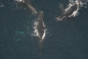 Nơi sinh sản mới cho cá voi đầu bò?