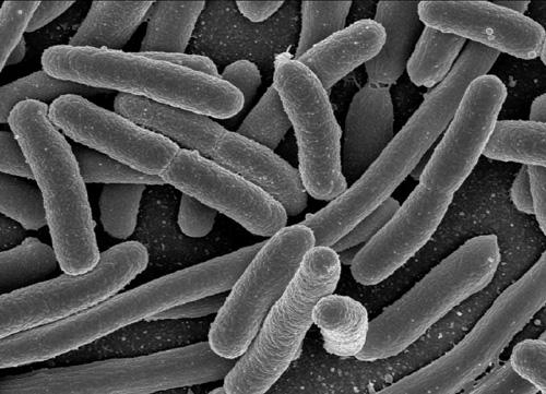 Biến vi khuẩn E.coli thành nhiên liệu sinh học