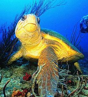 Phục hồi loài rùa Quản Đồng