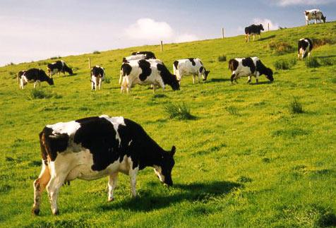 Muốn có nhiều sữa hơn, hãy đặt tên cho bò